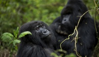 lesbian sex pictures gorillas have pleasure researchers capture primates having lesbian sexual relations when rejected male