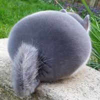 perfect round butt pics perfectly round chinchilla camerons chinchillas bef