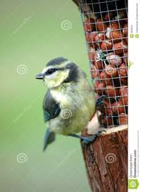 free tit pics baby blue tit royalty free stock