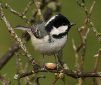 free tit pics wikipedia commons coal tit